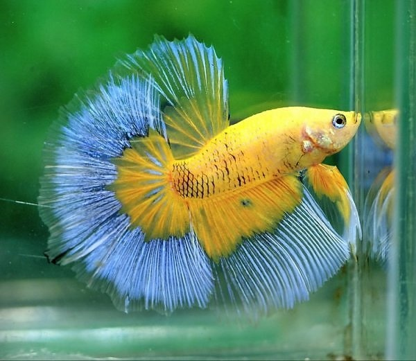 Tips Perawatan Ekor Ikan Cupang Cepat Panjang Semua Cara Budidaya Hewan