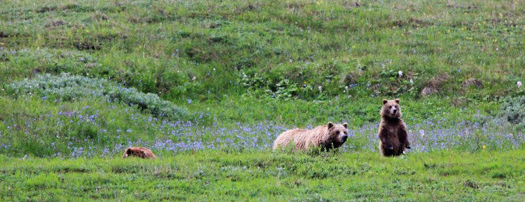 denali's big 5 grizzly bear