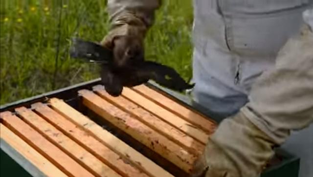 Ξέστρα μελισσιών και προβλήματα στα πλαίσια και τις κηρήθρες: Δοκιμή στο μελισσοκομείο (video)