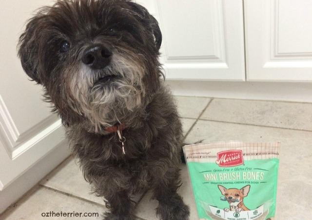 Oz the Terrier Pet Dental Health Month Merrick Brush Bones Dental Chews