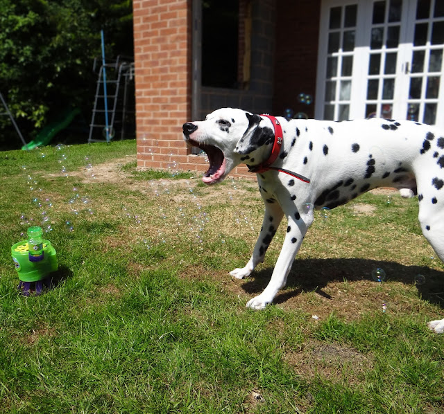 Dalmatian and bubbles