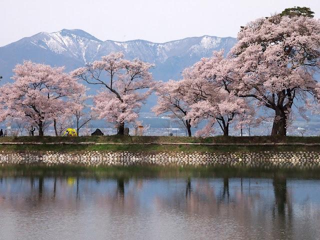 六道の堤 桜 タカトオヒガンザクラ