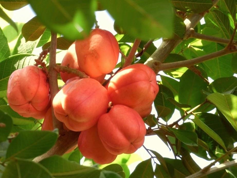 chinese fruit ackee fruit