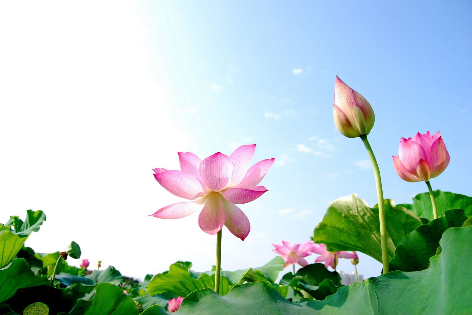 Lotus national flower of vietnam the vietnam tourism one interesting research reported that the lotus has the remarkable ability to regulate the temperature of its flowers to within a narrow range just as mightylinksfo