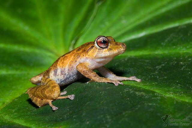 Pristimantis cruentus - Chiriqui Robber Frog