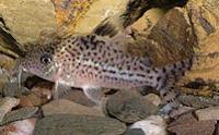 Jenis Ikan Corydoras leopardus