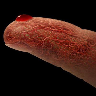 الأوعية-الدموية-في-الإصبع