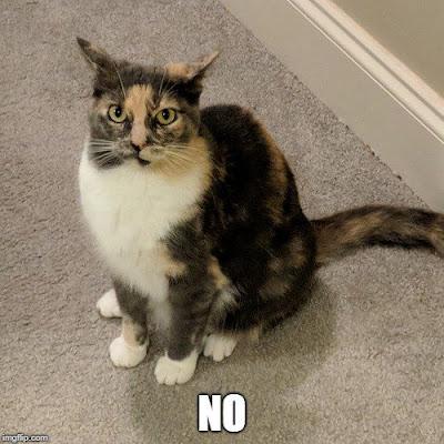 No Cat Meme | Lazy Daisy Felines