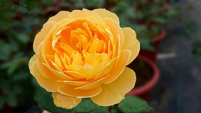 Một giống hồng cổ Việt Nam đang được bảo tồn