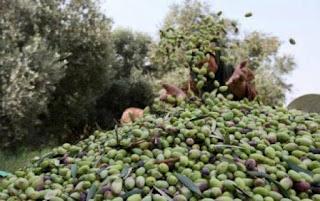 هيئة مقاومة الجدار والاستيطان تسلم أدوات قطف الزيتون لمزارعين في جنين
