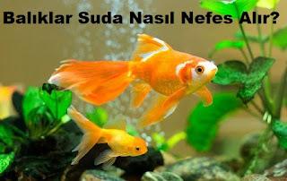 Balıklar Suda Nasıl Nefes Alır?