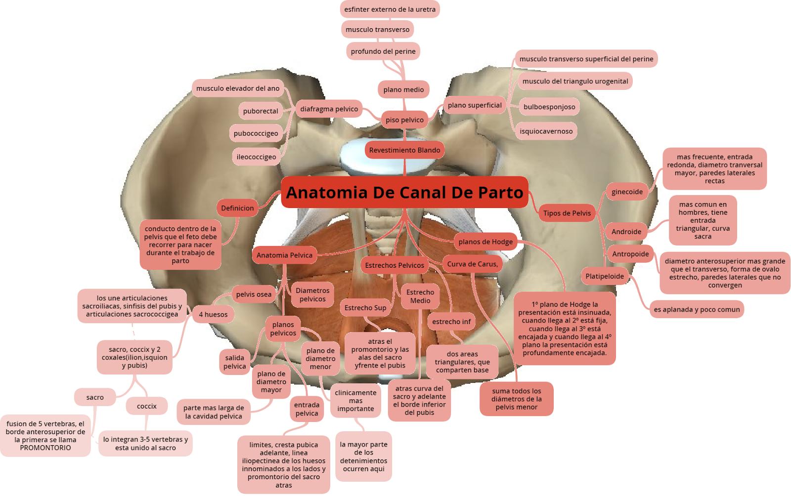 Anatomía De canal de parto. en este esquema se describe la anatomía ...