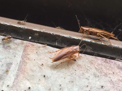 チャバネゴキブリの写真