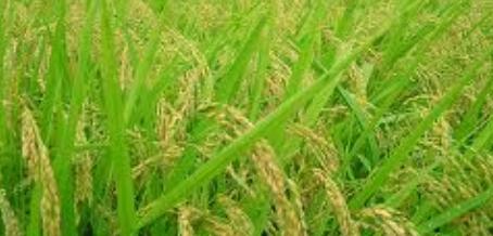Proses Revolusi Hijau Untuk Meningkatkan Produksi Pertanian