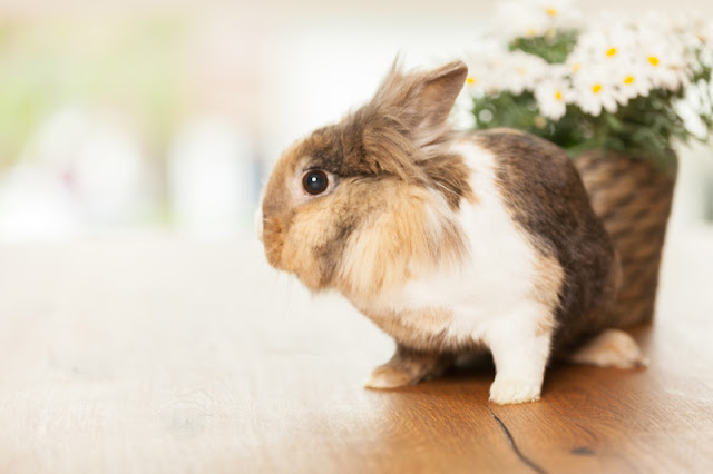 A pet rabbit with a vase of marguerites on a table