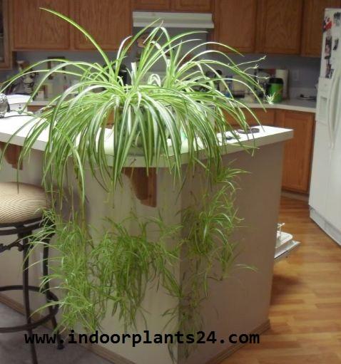 Liliaceae  SPIDER PLANT