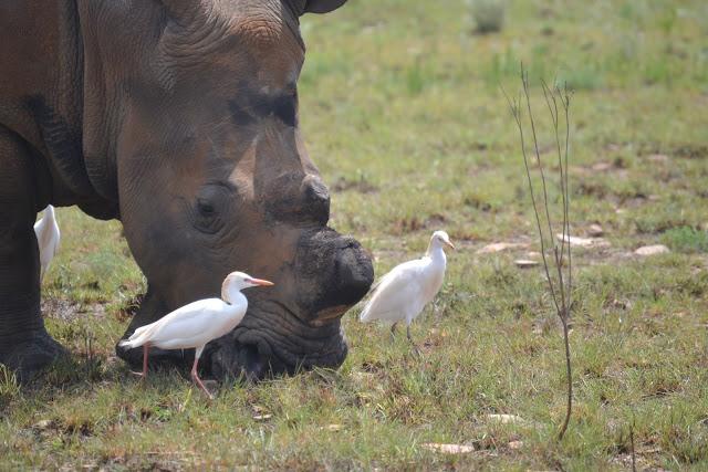 De-horned rhino