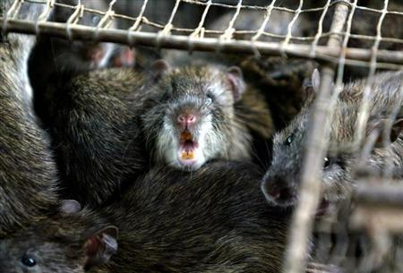 Chinese Food Suppliers Rats