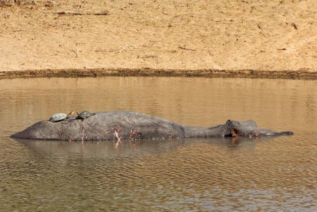 Hipopótamos de Kruger