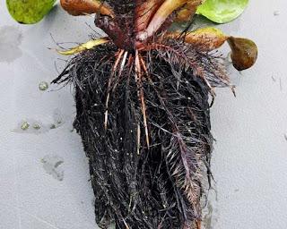 ciri khusus akar eceng gondok