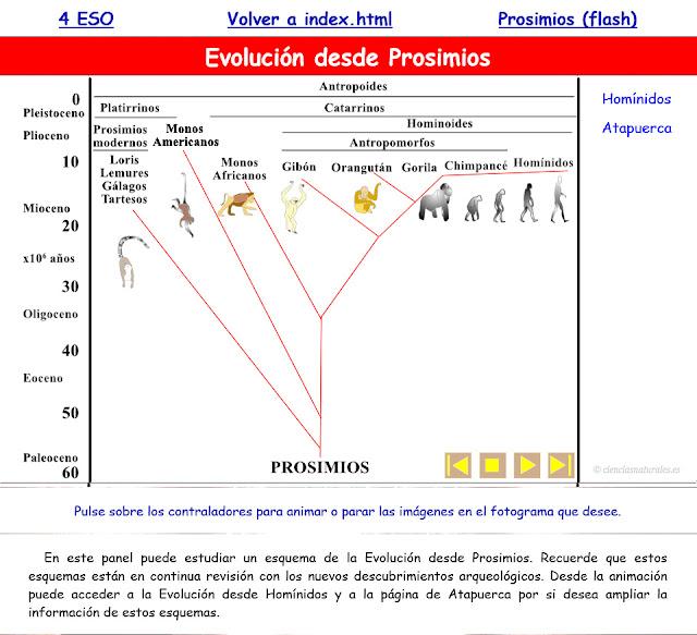 Evolución desde Prosimios