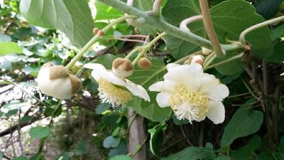 Fiori di kiwi.