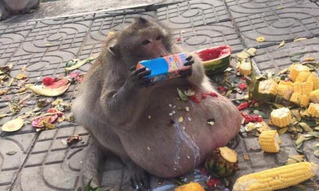 (Foto) Perut Monyet Boroi Melampau Akibat Terlalu Suka Makan