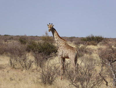 Giraffa al Lapa Lange