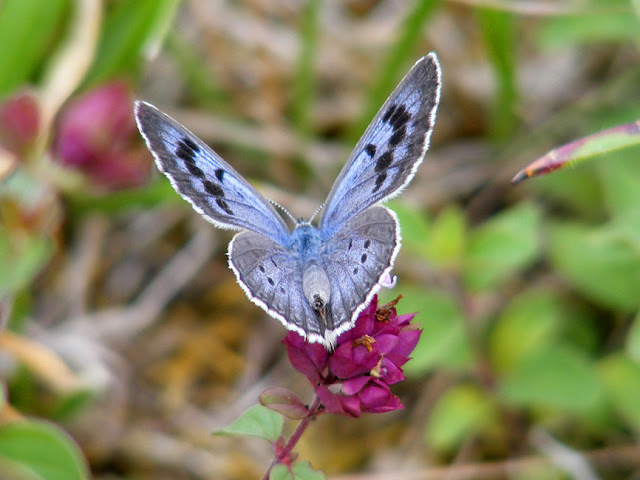 Large Blue butterfly Maculinea arion, Indre et Loire, France. Photo by Loire Valley Time Travel.