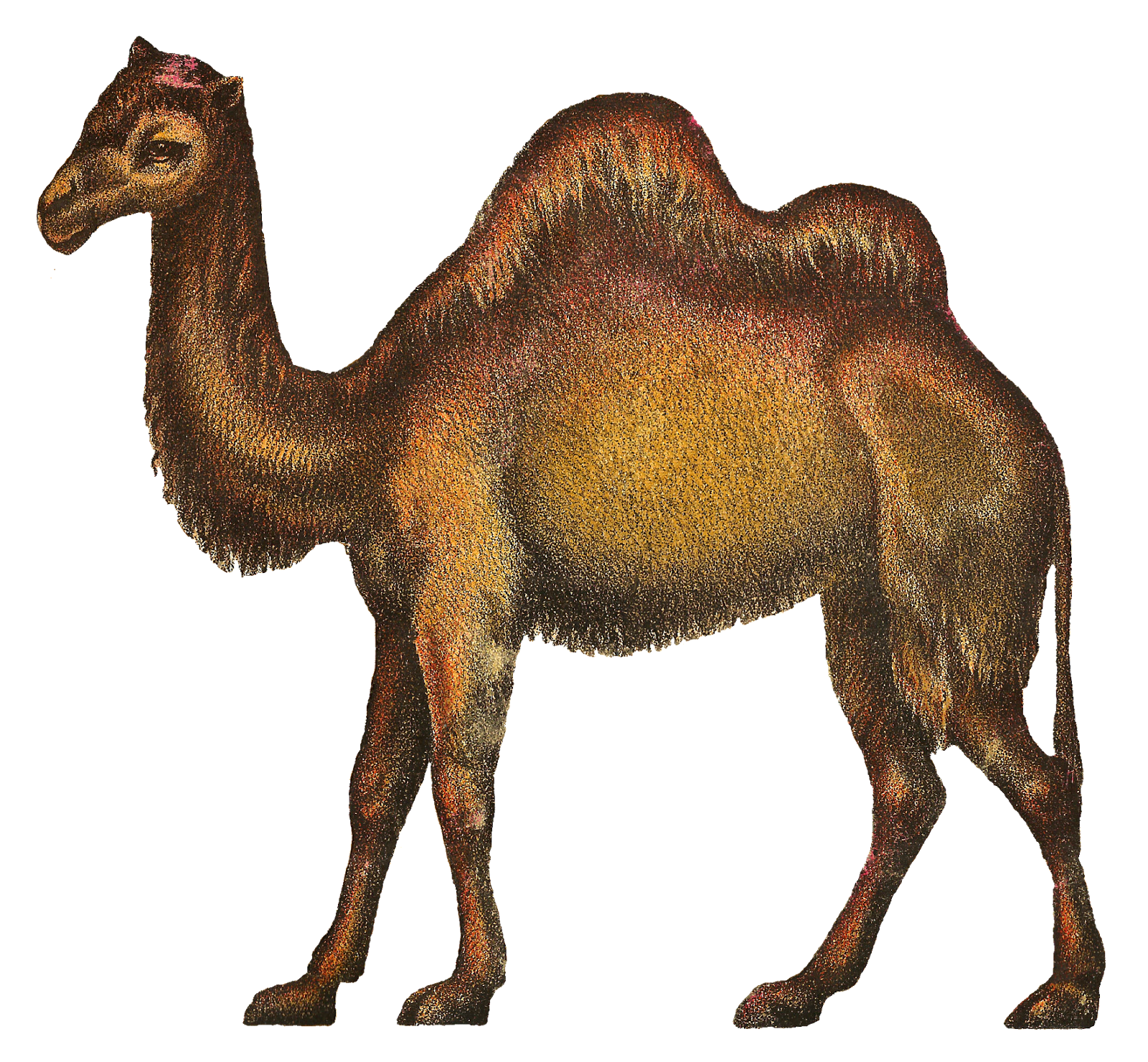 https://3.bp.blogspot.com/-O74fdB6WhoU/V6ekcIR63AI/AAAAAAAAc6E/xt4uNVktTsE4wbljq-F02IkXwkrPx1NXwCLcB/s1600/camel-circus-image-antique-illustration-png.png Circus Animals Png