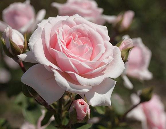Diadem сорт розы фото описание купить Минск