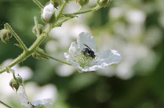 Mason bee on blackberry flower, Osmia lignaria