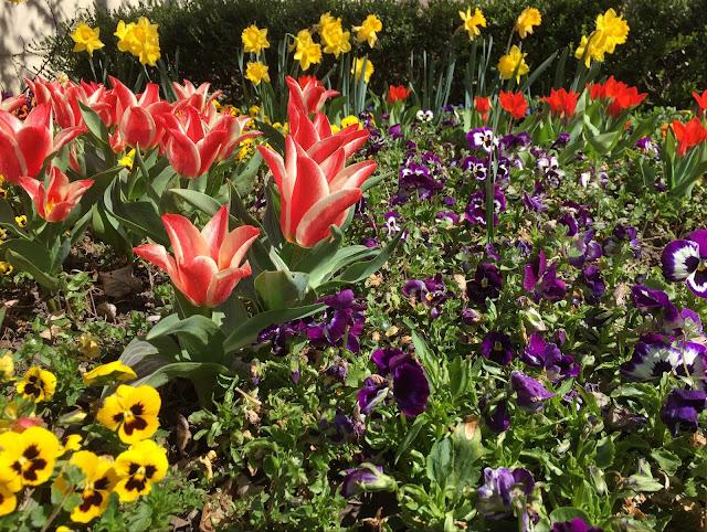 Blumenbeet: Tulpen, Stiefmütterchen, Narzissen