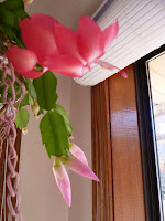 Christmas cactus blooms