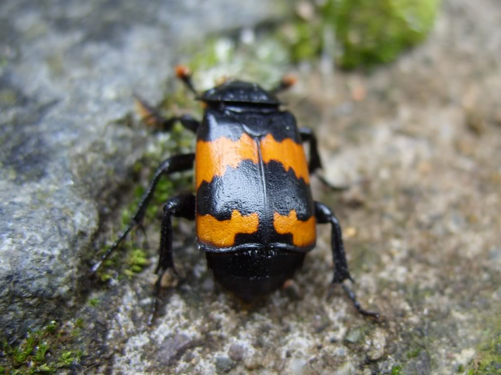 Picture of a sexton beetle.