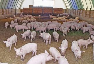 Ternak-Babi-Di-Jepang