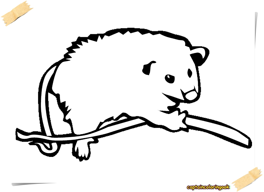 animals possum opossum coloring pages free coloring page