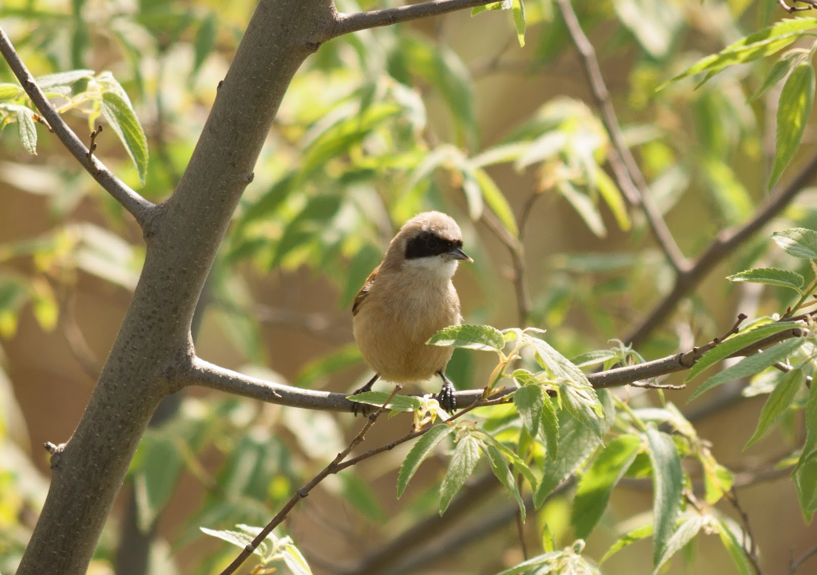 Penduline Tit - Spain