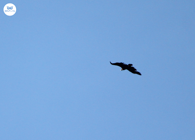 Buitre negro (Aegypius monachus)