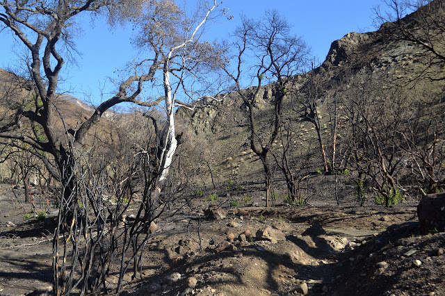 burned trees regrowing