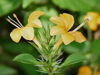 khasiat dan manfaat daun landep