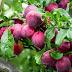 25 Manfaat Buah Plum Untuk Tubuh dan Resep Diet Sehat
