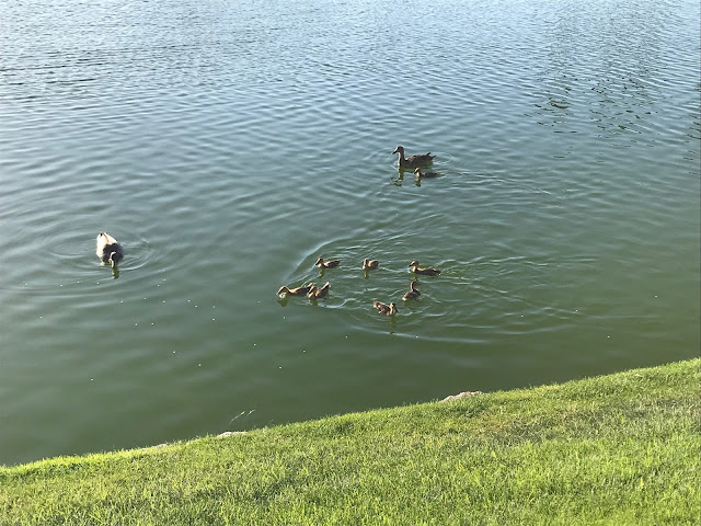Ducks at Desert Falls Country Club, Palm Desert