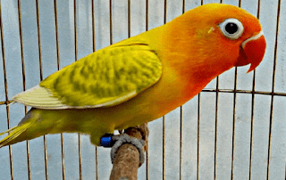 Warna dan Jenis Burung Lovebird
