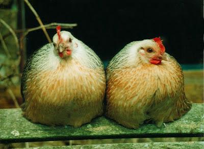 Rare breed Ardenner bantams organically raised
