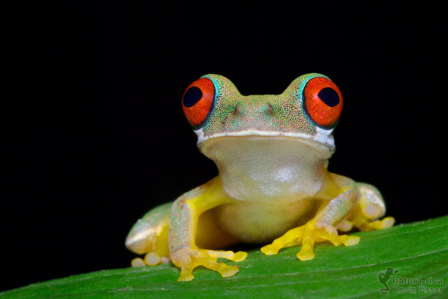 Duellmanohyla rufioculis - Rufous-eyed Brook Frog