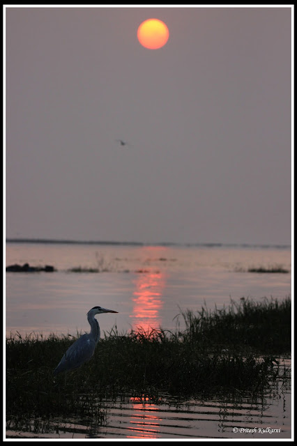 Grey Heron after sunrise at Bhigwan