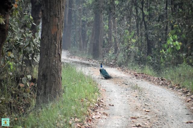 Pavo real en Parque Nacional de Bardia, Nepal