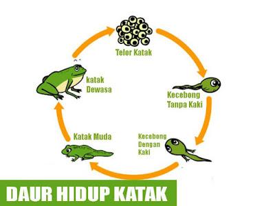 daur hidup katak