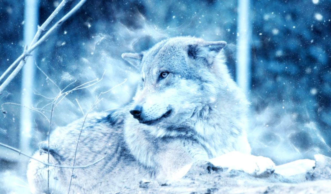 Snow Wolf Wallpapers Wallpapers Pc